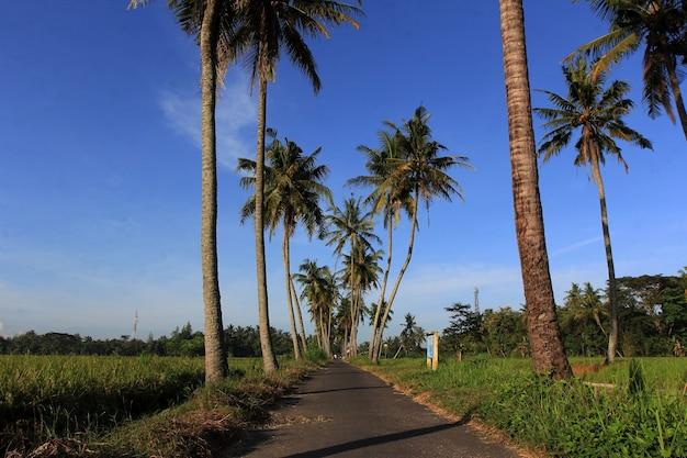 Gli alberi di cocco crescono ai margini delle risaie Foto Premium