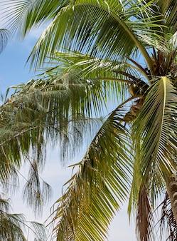 Palme tropicali di cocco. inquadratura dal basso. arcipelago palau, micronesia.