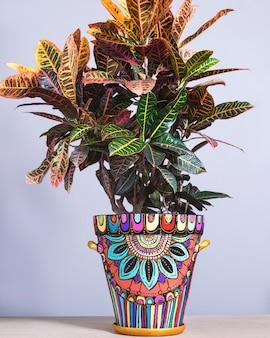 Codiaeum petra, croton nel vaso dipinto a mano
