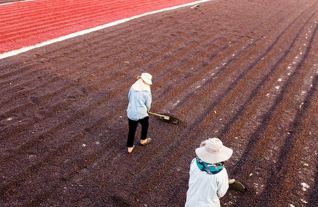Chicchi di caffè che si asciugano al sole. piantagioni di caffè nella fattoria del caffè