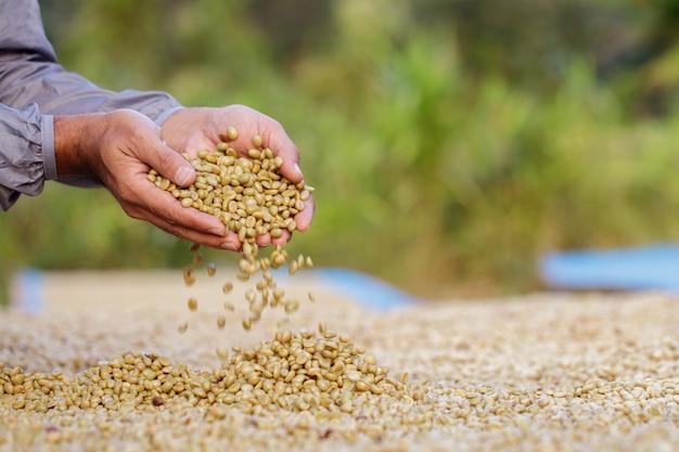 Chicchi di caffè che si asciugano al sole. piantagioni di caffè all'azienda agricola del caffè