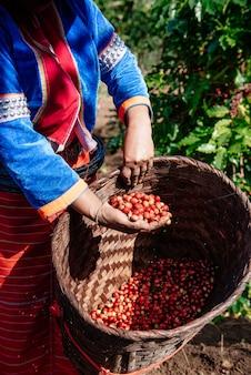 Chicchi di caffè da piantagioni di caffè, chicchi di caffè arabica.