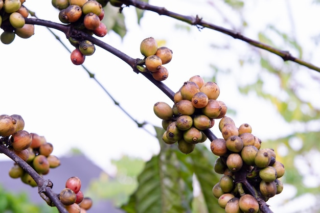 Chicchi di caffè che maturano, chicchi di caffè freschi sulla pianta del caffè