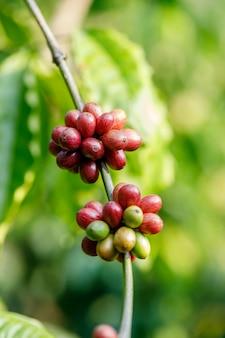 Maturazione dei chicchi di caffè, caffè fresco, ramo di bacche rosse