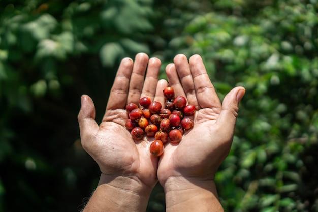Le bacche di caffè comunemente chiamate coffee cherries sono la fonte dei chicchi di caffè per creare la bevanda al caffè