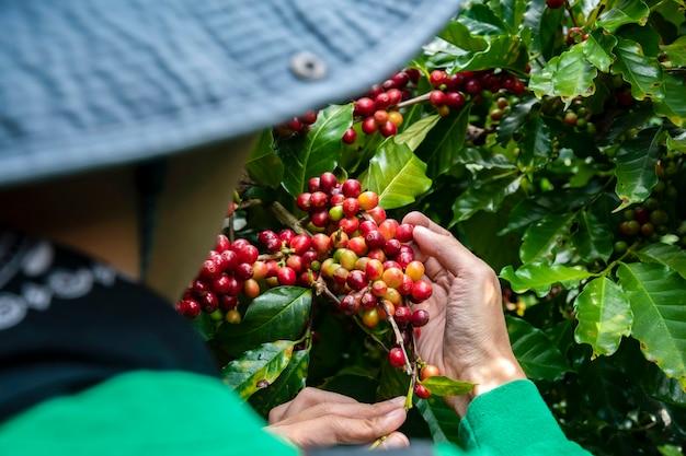 Coltivatore del caffè che seleziona i fagioli maturi della ciliegia, merce nel carrello fresca del chicco di caffè