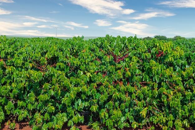 Frutta del caffè in coltivazioni e piantagioni di caffè in brasile.