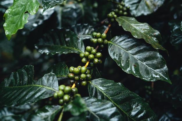 Piantagione di caffè nella foresta nebbiosa, pianta del caffè e chicchi di caffè crudo