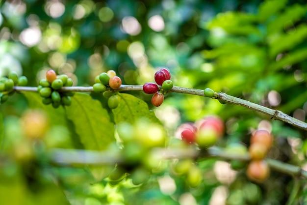 Pianta del caffè con bacche mature in fattoria nell'isola tropicale di bali, indonesia. avvicinamento