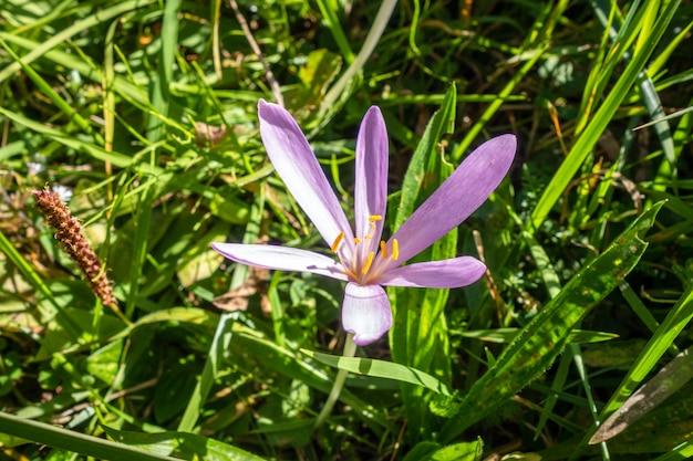 Colchicum alpinum fiori selvatici vista ravvicinata nel parco nazionale della vanoise, francia