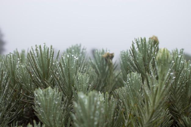 Fiori di edelweis freddo