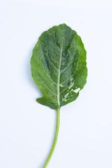 Foglia di cavolo verde con buchi, mangiata dai parassiti. verdura biologica