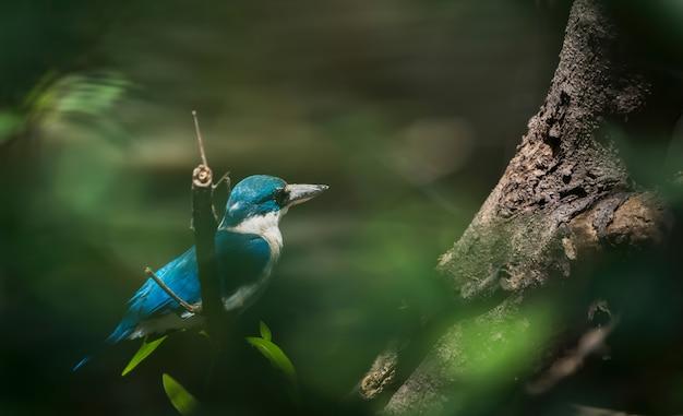 Martin pescatore dal collare che si appollaia sul ramo di albero tailandia