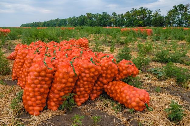 Le cipolle raccolte in sacchetti di rete arancione sul campo vengono raccolte verdure fresche ecocompatibili per la vendita agroindustriain