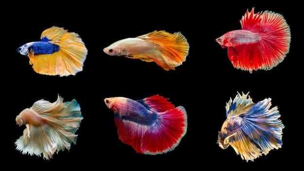 Collezione colorati pesci betta thailandesi, pesci combattenti siamesi isolati su sfondo nero black