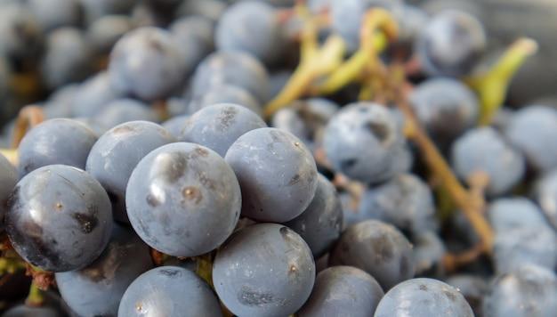 Raccolta di uve mature. fondo dell'uva del vino rosso. uve da vino nere, blu o rosso scuro appena raccolte. frutti sani. grappoli d'uva, pronti da mangiare. trama di bacche come sfondo. specie d'uva.