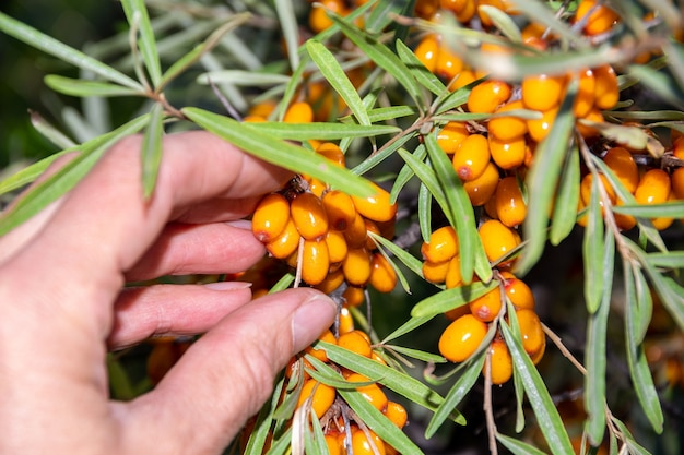 Raccolta di bacche di olivello spinoso mature e sane raccolta a mano di bacche di olivello spinoso da un cespuglio