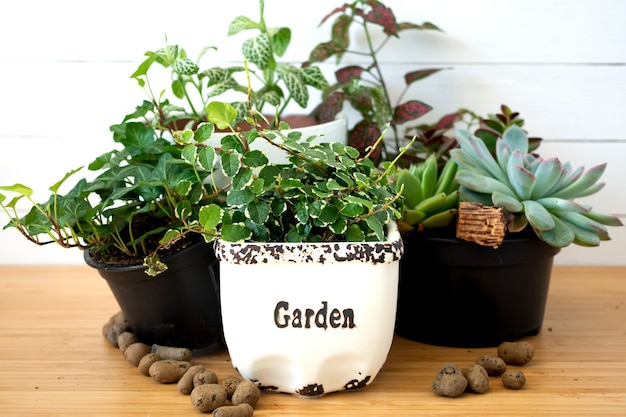Raccolta di varie piante da interno - fittonia, hypoestes, succulente, ficus pumila white sunny, hedera helix fiori