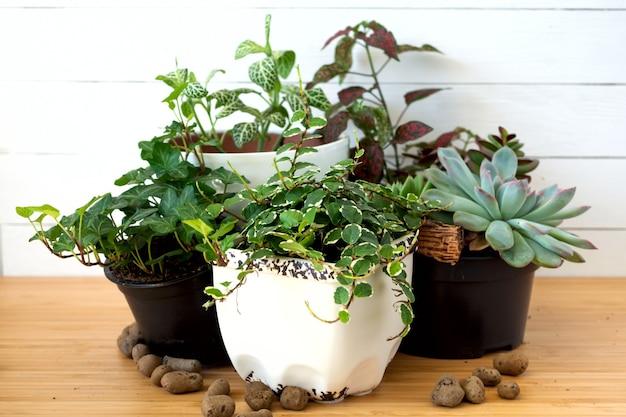 Raccolta di varie piante da interno - fittonia, hypoestes, succulente, ficus pumila white sunny, fiori di hedera helix.