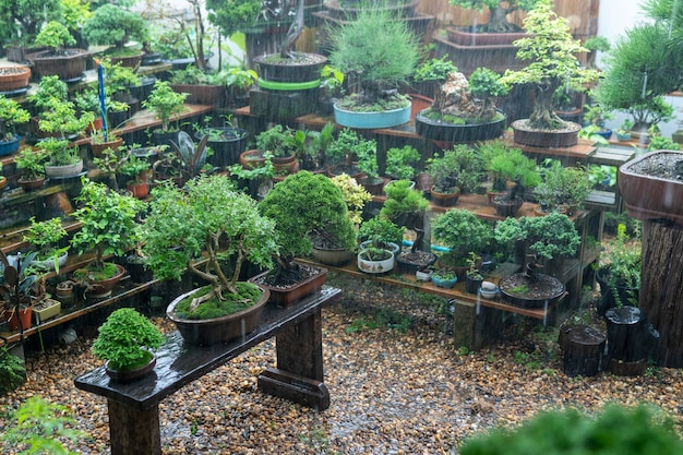 I bonsai del collezionista stanno guadagnando pioggia.