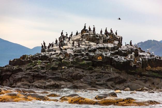 La colonia di cormorani (phalacrocorax carbo), penisola di kamchatka