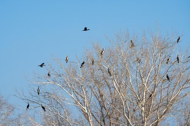 Colonia di cormorani seduti sui rami di un albero