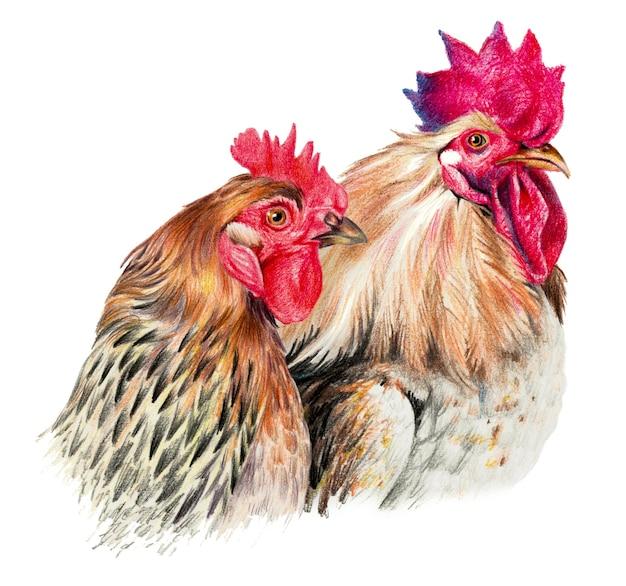 Disegno a colori con matite acquerellate. gallina e gallo su sfondo bianco