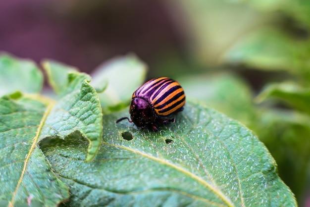L'insetto del colorado mangia le verdure di patate da vicino. danneggiare le colture agricole
