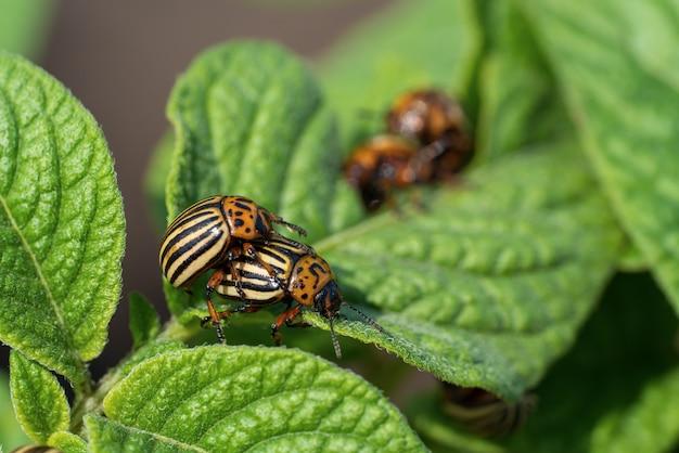 Lo scarabeo di patata del colorado mangia le foglie della patata. parassiti di insetti agricoli.
