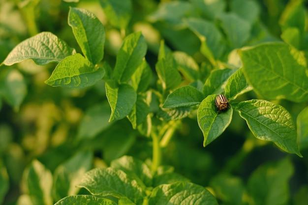 Lo scarabeo della patata del colorado si siede su un cespuglio di patate e distrugge le foglie