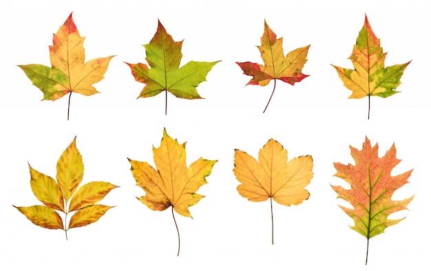 Le foglie di autunno variopinte hanno messo isolato su fondo bianco