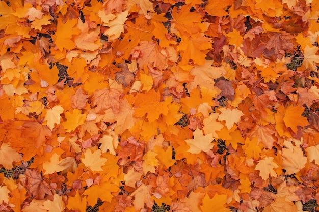 Backround colorato di foglie autunnali cadute. foglie di acero autunnali che cadono giacciono a terra. foglie d'acero multicolori. sfondo di foglie di acero