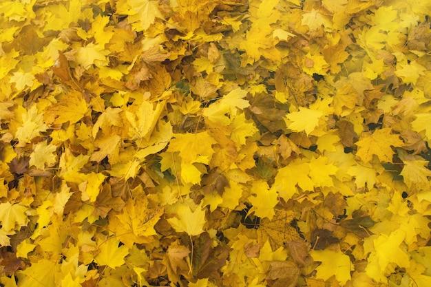 Backround colorato di foglie autunnali cadute. foglie di acero autunnali che cadono giacciono a terra.