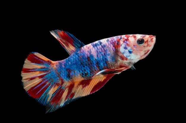 Pesci colorati di betta. bellissimo pesce combattente siamese, leopardo fantasia betta splendens nemo isolato sul nero.