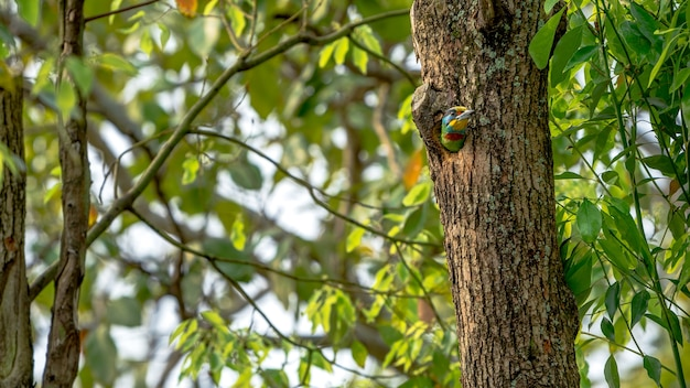 Un uccello colorato mullers barbet all'interno del buco nido sull'albero a taipei è una specie endemica di taiwan
