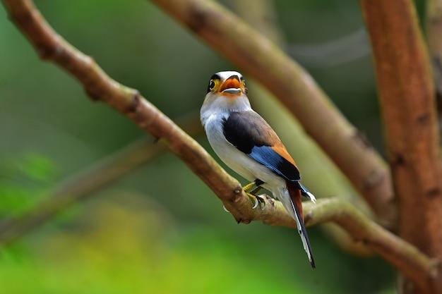 Uccello colorato petto argento broadbil