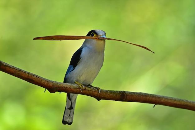 Uccello colorato petto argento broadbil Foto Premium