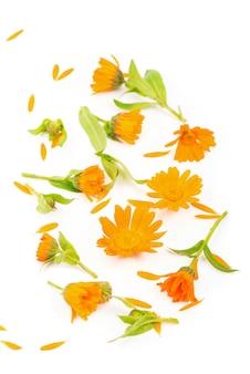 Modello luminoso colorato di fiori di calendula arancione su sfondo bianco.