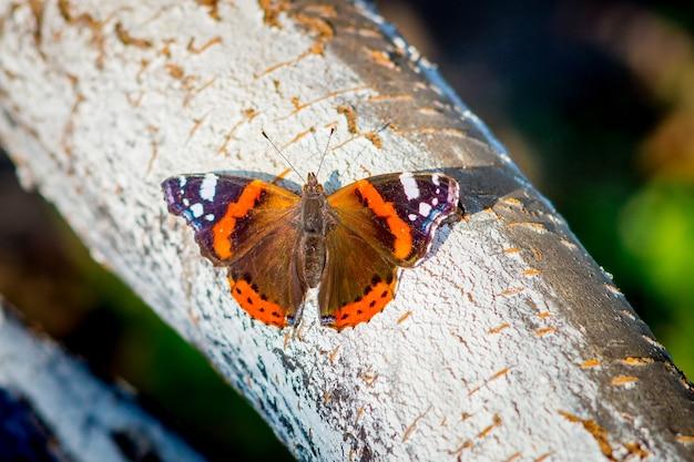 Occhio di pavone farfalla colorata su una corteccia di albero in tempo soleggiato_