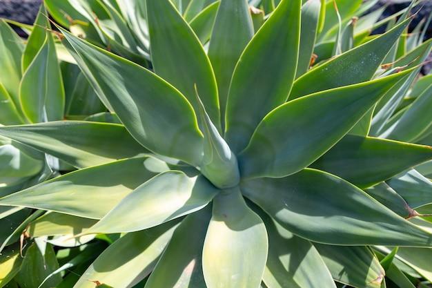 Colorate piante di cactus varietà che crescono su lava vulcanica terreno di sabbia nel giardino di cactus vicino a quatiza, lanzarote, isole canarie, spagna.
