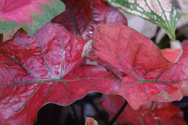 Foglia di caladium colorata