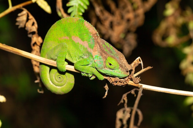 Camaleonte colorato in primo piano nella foresta pluviale del madagascar.