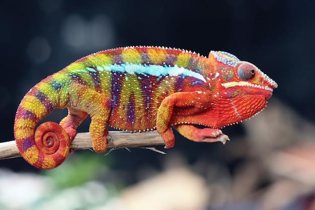 Pantera camaleonte colorata sul ramo con sfondo sfocato da vicino