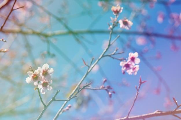 Fiori di ciliegio colorati su un'alta montagna
