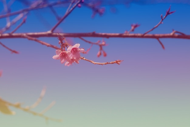 Fiori di ciliegio colorati su un'alta montagna.