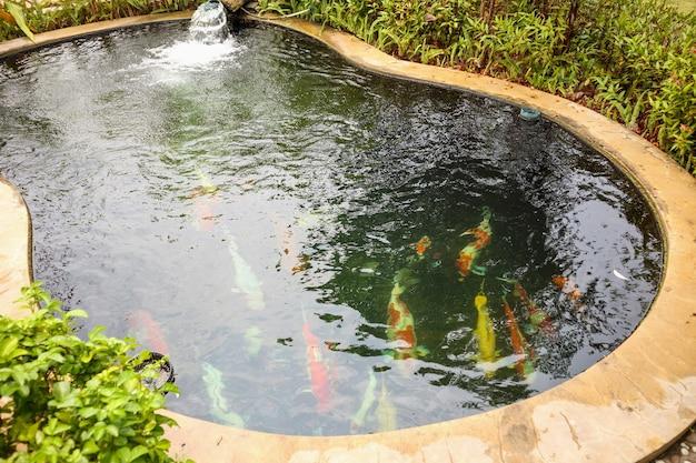 Colorate carpe fantasia pesci koi nel laghetto in giardino