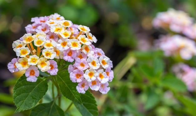 Fiore colorato, lantana, salvia selvatica, panno d'oro con goccioline d'acqua, in morbido stile sfocato