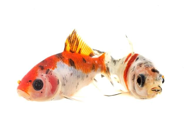 Pesci rossi colorati davanti a uno sfondo bianco
