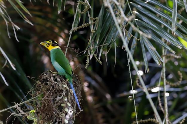 Uccello colorato dalla coda lunga su un ramo con sfondo di foresta