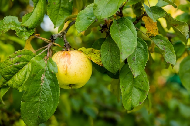 Scatto colorato all'aperto contenente un grappolo di mele verdi su una raccolta di mele nei frutteti in tempo di ramiraccolto...